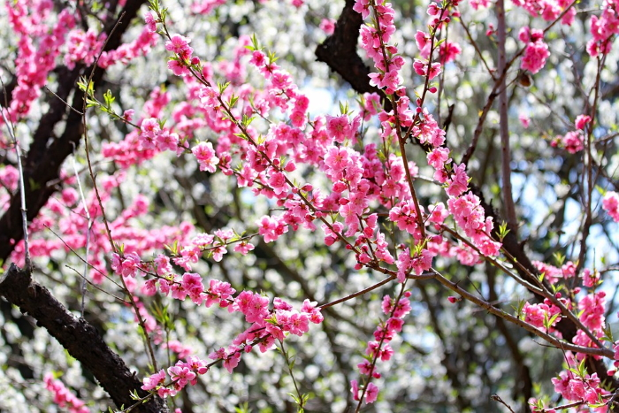 Alberi di prugno giapponese in fiore