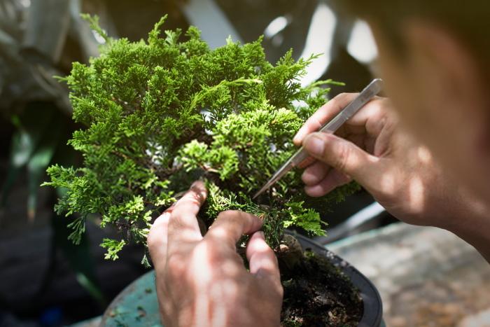 bonsai nel giardino giapponese